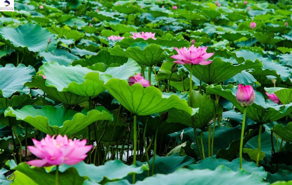 LOTUS- VIETNAMS NATIONAL FLOWER